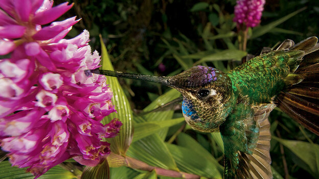 A hummingbird pollinates an orchid.