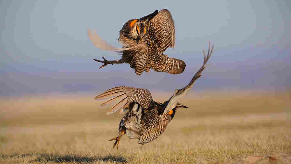 (Wide) An aggressive encounter between two male greater prairie chickens.