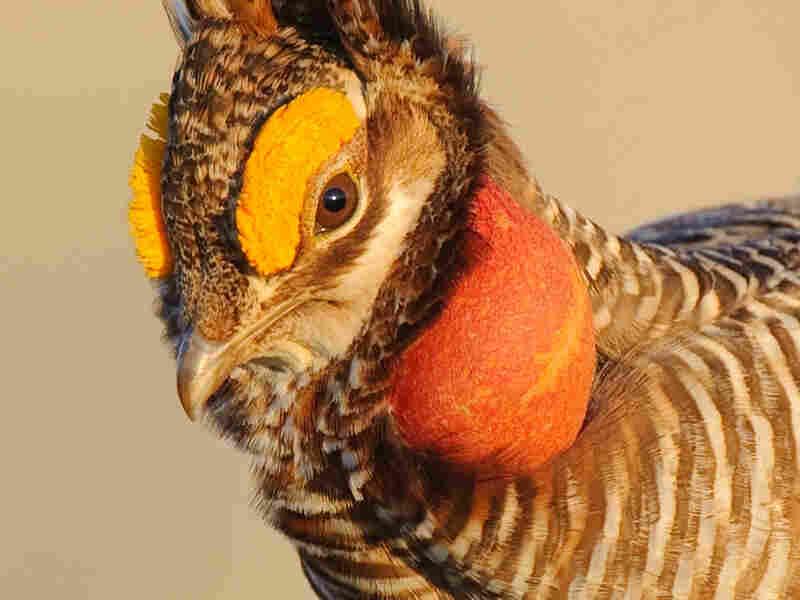 (CU) An adult male lesser prairie chicken displays on a lek.