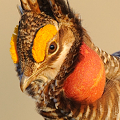 (CU) An adult male lesser prairie chicken displays on a lek.