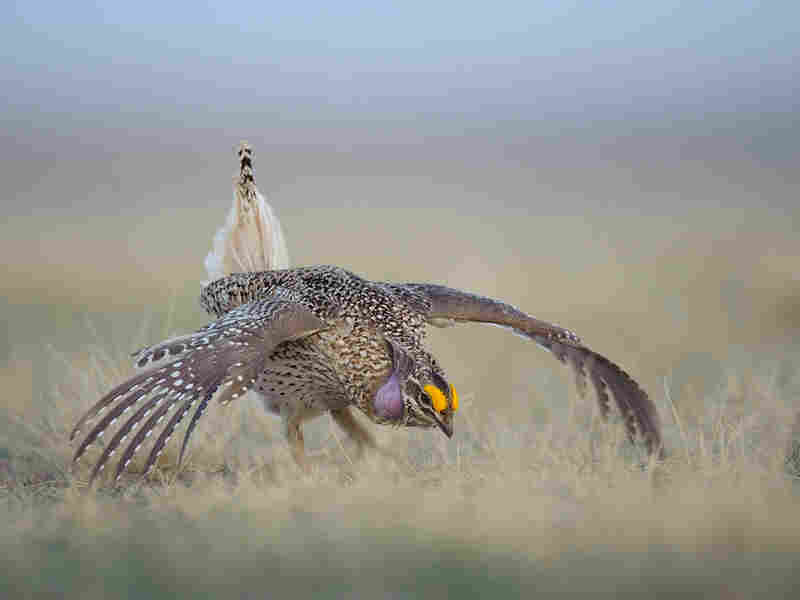 Adult male sharp-tailed grouse displaying at dawn on a lek.