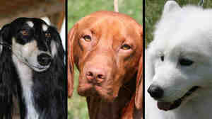 (Wide) Three domestic dog breeds: saluki, vizsla, and Samoyed.