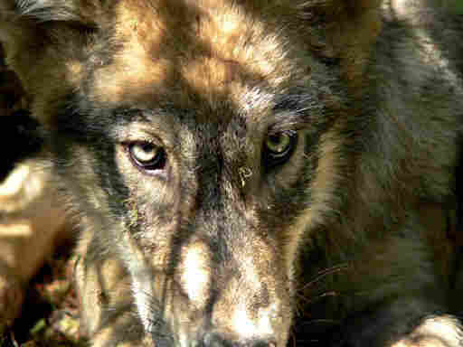 A gray wolf from the Calder Mountain pack along the Montana and Idaho borders, in 2005