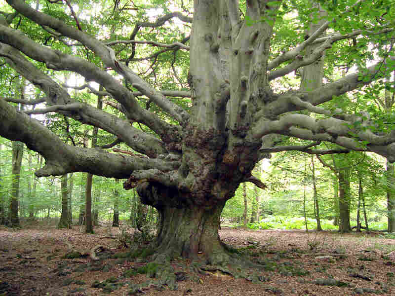 An ancient tree in a forest in Britain, where a census will count every tree.