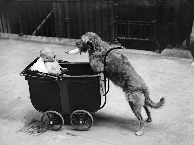 """Both young infants and dogs sometimes ignore what they see with their own eyes and instead trust a human """"teacher."""" Dogs may have evolved this trait to help them live with people."""