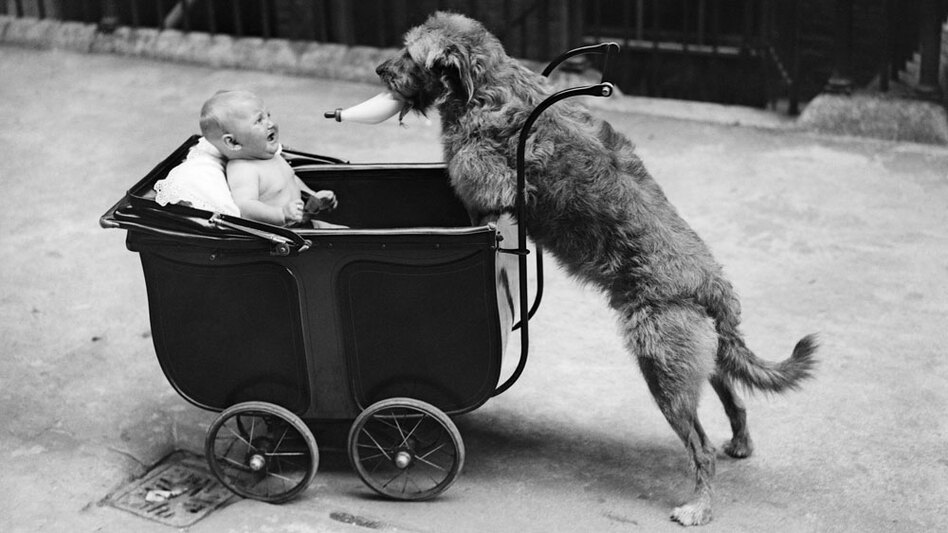 "Both young infants and dogs sometimes ignore what they see with their own eyes and instead trust a human ""teacher."" Dogs may have evolved this trait to help them live with people."