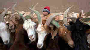 Altangerel Dulamsuren, 6, is seen with her family's goats