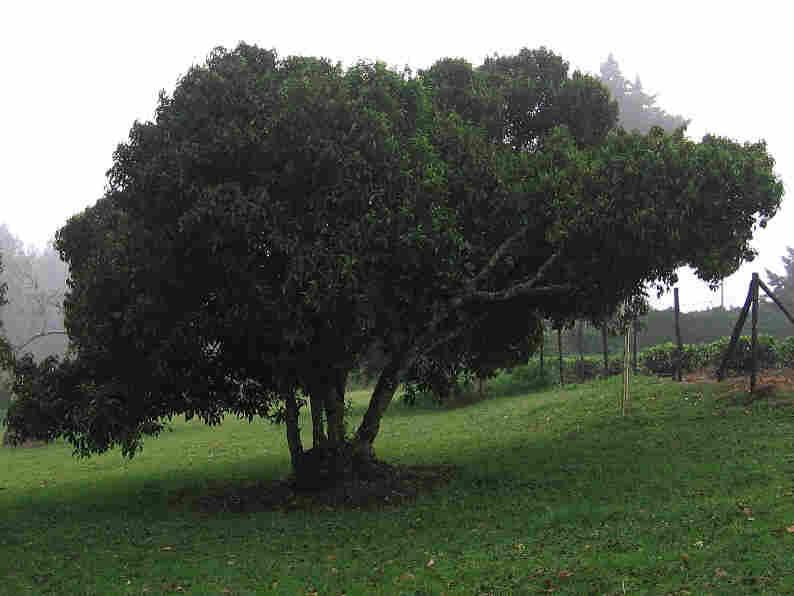 Tea tree on Mabroukie Estate
