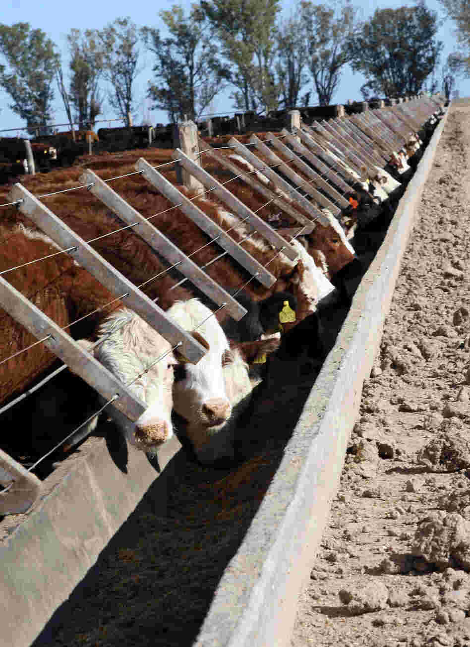 CUSTOM: Cattle at Santa Maria feedlot in Magdalena, Argentina