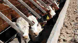 Argentine Cattle No Longer Just Home On The Range