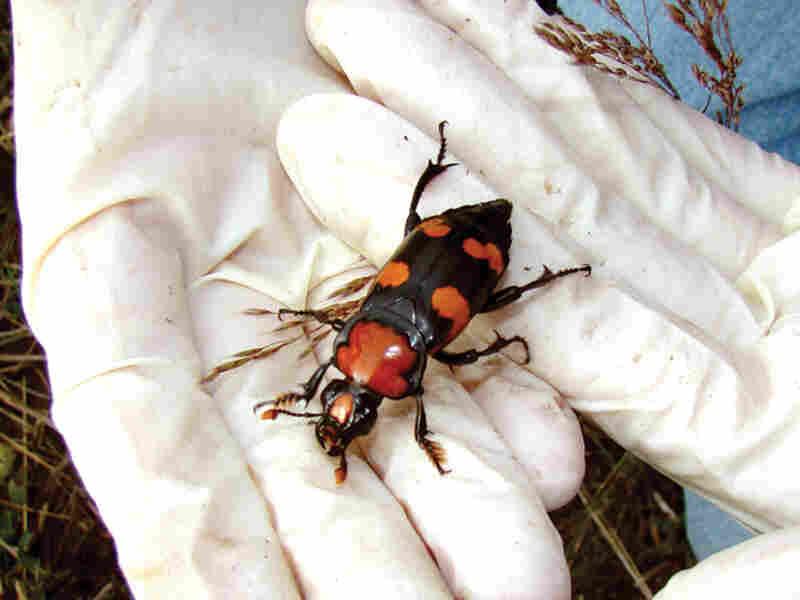 Burying Beetle. Roger Williams Park Zoo