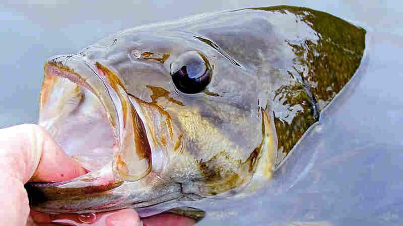 A smallmouth bass caught on a lake near Ely, Minn.