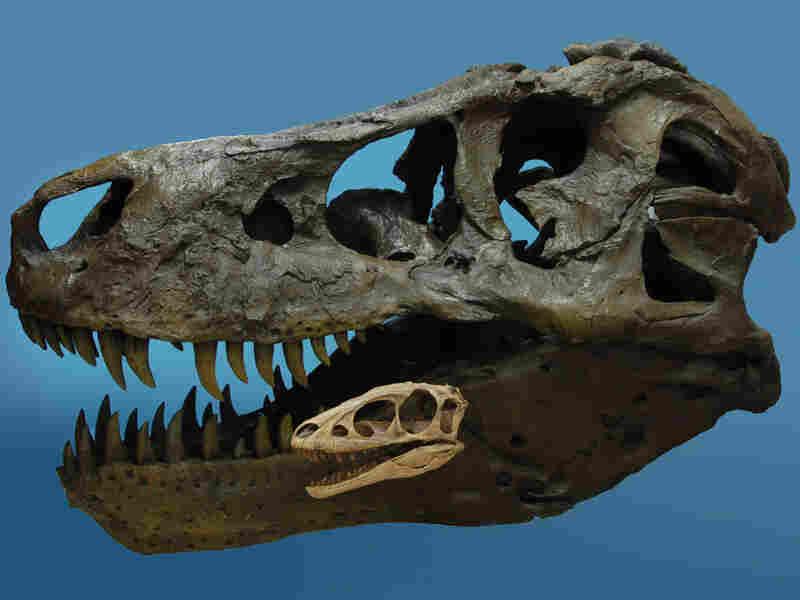 The skulls of Raptorex and Tyrannosaurs Rex