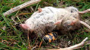 (Wide) A sexton beetle buries a recently deceased shrew.