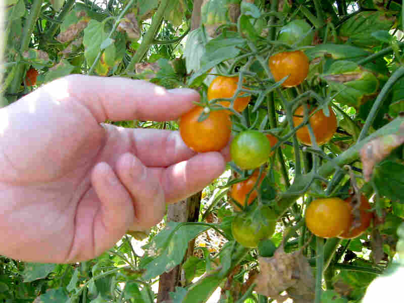 These Sun Gold tomatoes can be on restaurant plates in San Francisco in less than 24 hours.