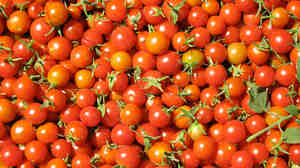 Sun Gold tomatoes can be on restaurant plates in San Francisco in less than 24 hours.