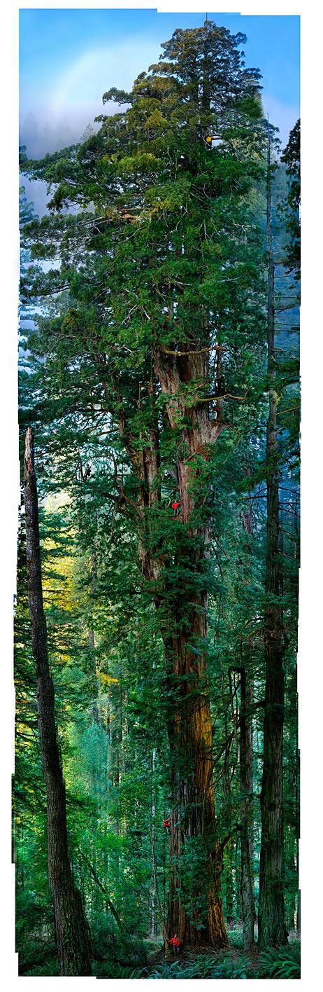 giant redwood tree
