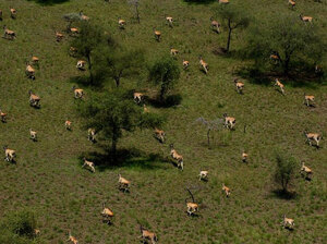 Boma's antelope migration is believed to be second in size only to the wildebeests of the Serengeti. Here, a group of Eland antelope.