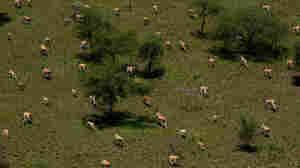 Eland antelope in Boma