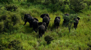 To the surprise of researchers, wildlife remains plentiful in southern Sudan's Boma National Park, despite a long civil war, which ended in 2005. Here, a herd of elephants move through a grassland in the park.