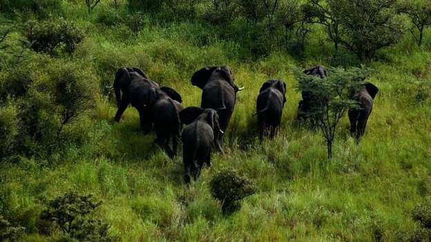To the surprise of researchers, wildlife remains plentiful in southern Sudans Boma National Park, despite a long civil war, which ended in 2005. Here, a herd of elephants move through a grassland in the park. (Miguel Juarez for NPR)