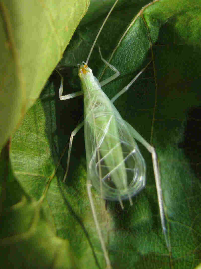 A male snowy tree cricket on a leaf.