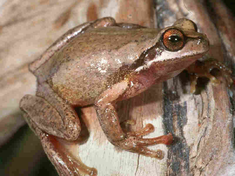 A southern brown tree frog.