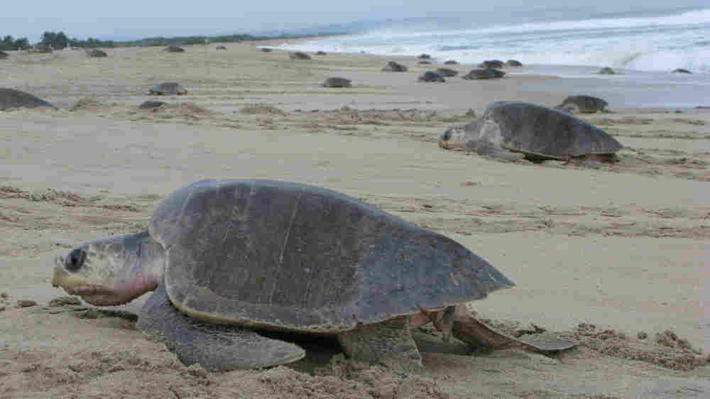 WIDE: Olive Ridley turtles come ashore to lay their eggs on La Escobilla beach in Oaxaca, Mexico