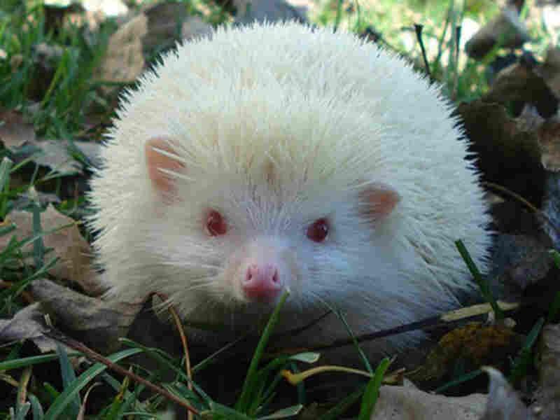 The Bongards' pet hedgehog, Harriet.