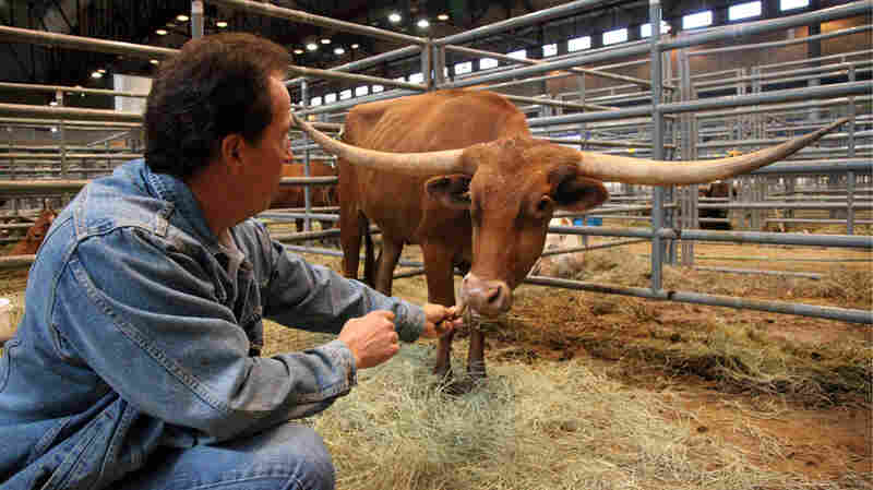 Mike Crawford feeds a snack to his award-winning cow, Cherry Jubilee.