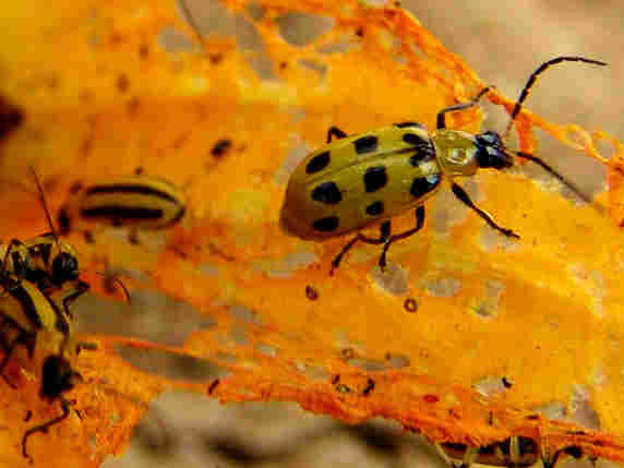 Spotted cucumber beetle on squash flower