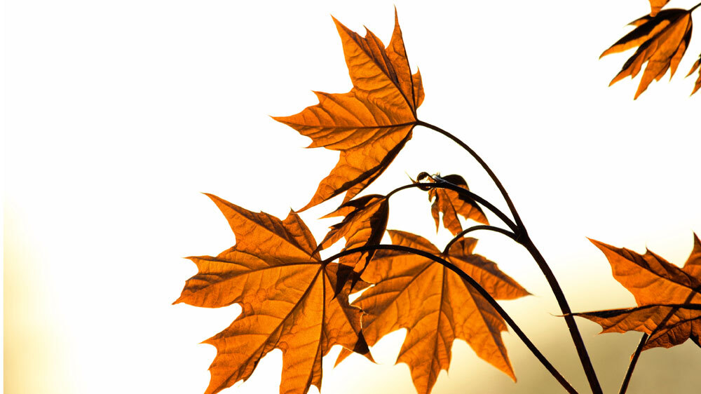 why leaves really fall off trees krulwich wonders npr