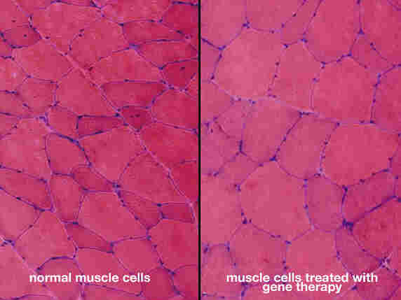 Microscopic image of monkey muscle cells.