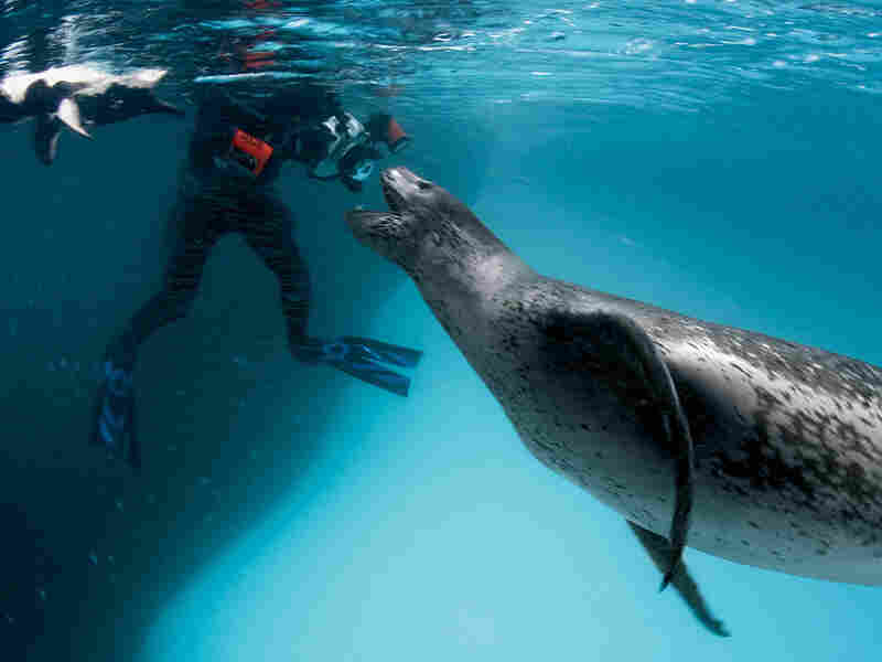 A female leopard seal greets a fellow adventurer near Anvers Island, Antarctica.