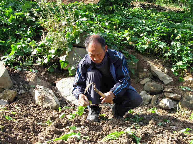 Farmer Fan Zhuxian plants seedlings on a hillside in Fengjie county, China.
