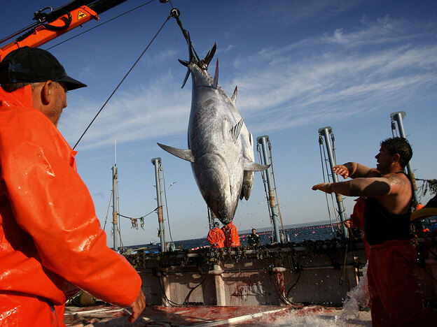 Fisherman haul in tuna in Zahara de los Atunes, southern Spain, in May 2006. The International Commission for the Conservation of Atlantic Tunas put a lower cap on bluefin tuna catches next year.
