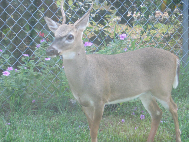 This key deer, found on Big Pine Key in Florida, is one of several species endangered by rising sea levels. Some experts expect Florida sea levels to rise 3 or 4 feet over the next century. (NPR)