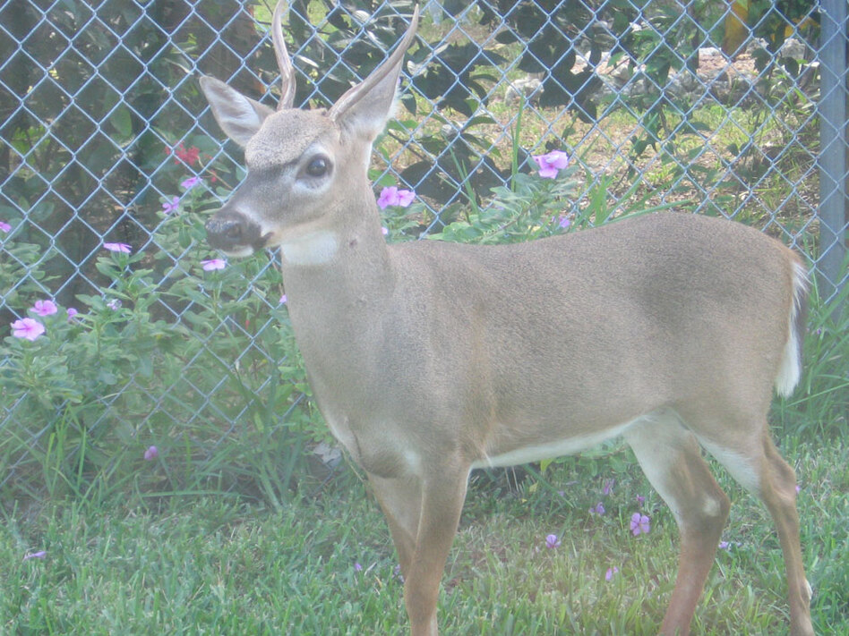 This key deer, found on Big Pine Key in Florida, is one of several species endangered by rising sea levels. Some experts expect Florida sea levels to rise 3 or 4 feet over the next century.