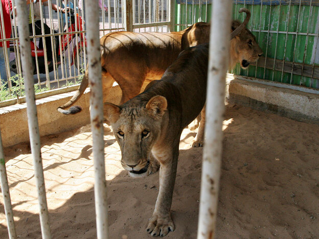 Lioness Sabrina (foreground) walks in her pen at the Gaza Zoo with her brother, Sakher, in 2007. The two lions are among the few animals at the zoo that survived the Israeli offensive against Hamas militants nearly a year ago.