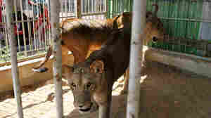 2007 file photo, lioness Sabrina walks in her pen with brother Sakher in Gaza City.