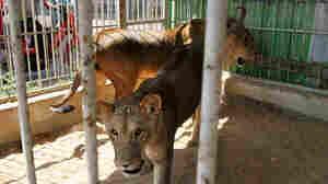 At Gaza Zoo, The Wild Things Return