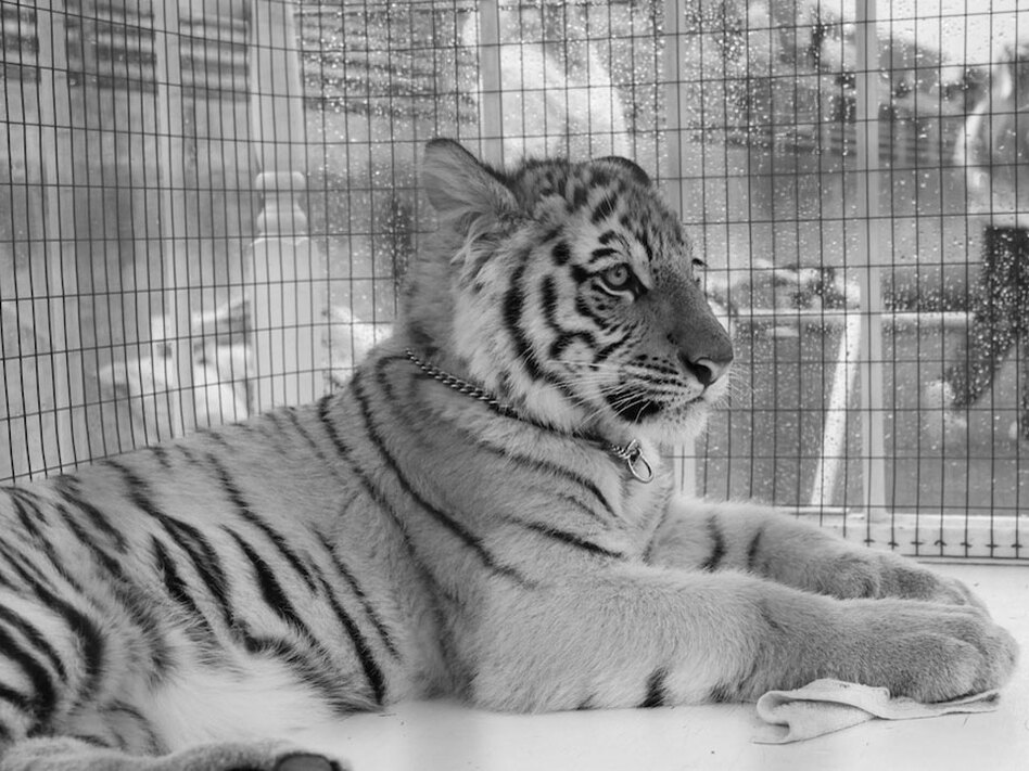 Obie is Massillon's mascot. After each season concludes, that year's Obie is placed in a zoo or sanctuary.