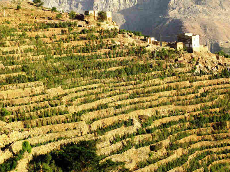 Khat, a mildly narcotic leaf, is shown growing on a terraced hillside in northern Yemen