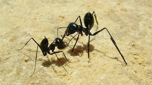 Ants wearing stilts.