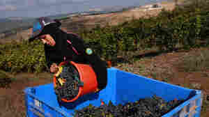 W: An Arab worker pours Merlot grapes into a crate