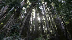 Sunlight shines through a grove of redwood trees at the Muir Woods National Monument WIDE