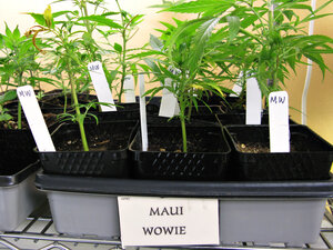 Maui Wowe, a type of marijuana sold in Northern California