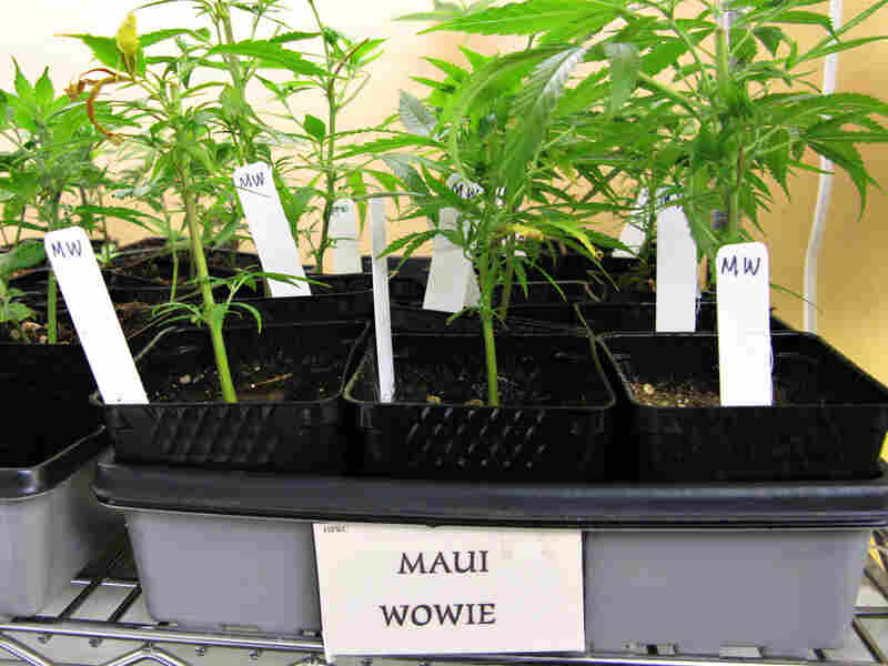 Maui Wowe, a type of marijuana sold in Northern California