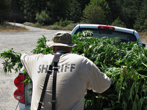 Seized marijuana plants are hauled out of the desolate areas and buried 10 feet below the ground.