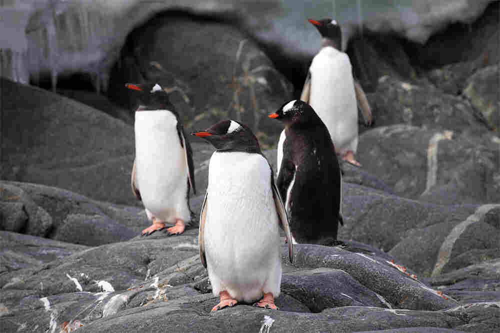 Gentoo penguins hover on the land.